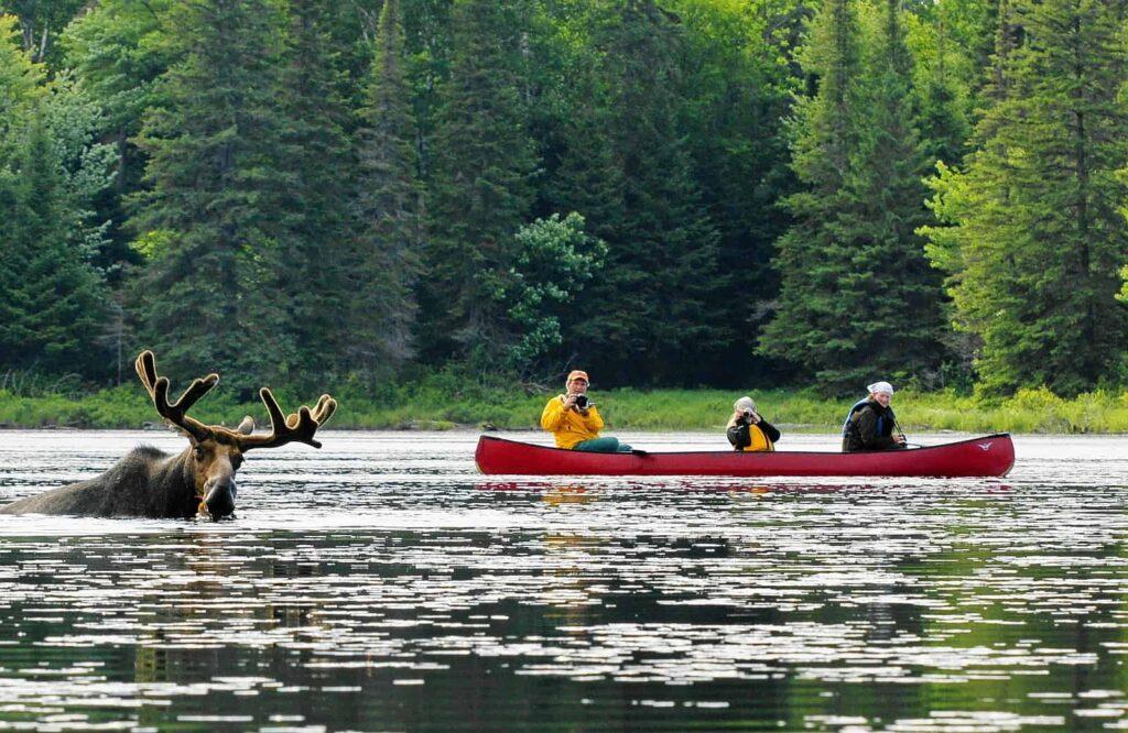 Moose meets canoe - Eine Begegnung der besonderen Art in Muskoka im Algonquin Provincial Park. Foto Voyageur Quest