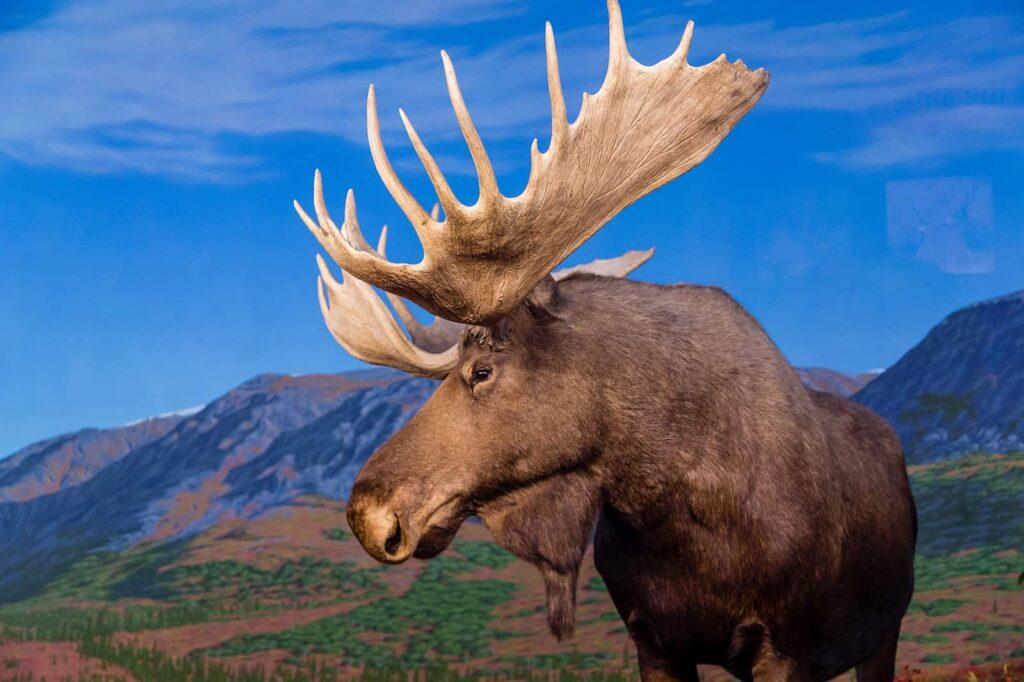 An diesem wunderschönen Elchbullen zeigen sich die charakteristischen Merkmale der größten Hirschart der Erde, wie die überhängende Oberlippe, der Widerrist und der Kehlsack. Foto dbvirago / Deposit