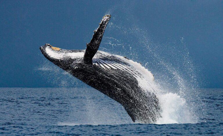 Was für ein beeindruckender Anblick, ein großer Buckelwal im Sprung. Der Traum eines Jeden beim Whale Watching. Foto GUDKOVANDREY / Deposit