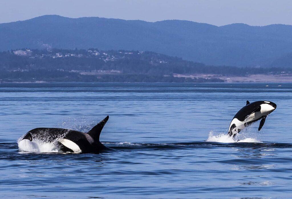 Orca-Lebensfreude pur bei Mutter und Kind. Erlebt diese tollen Tiere bei einem nachhaltigen Whale Watching. Foto Tourism Victoria/Alexia Foster