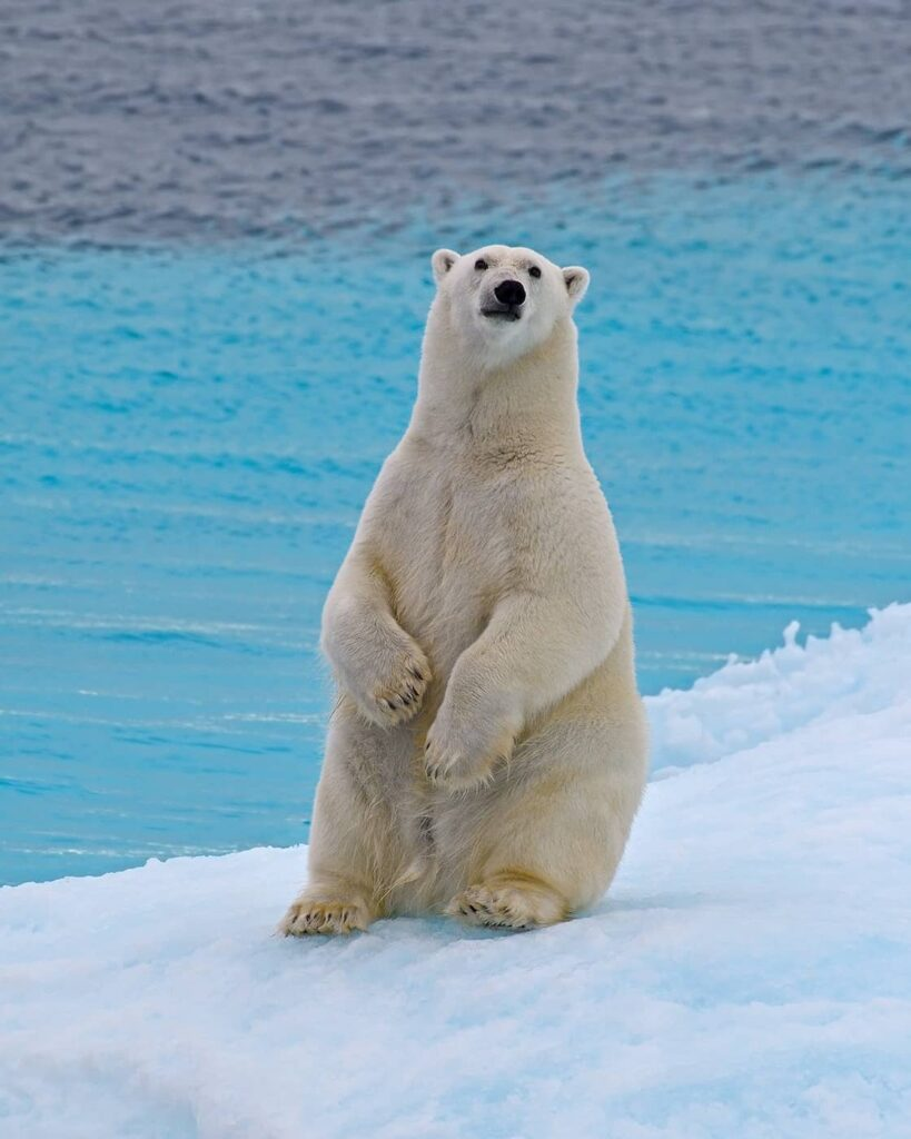 Auch er wird mehr geschützt werden. Ein Eisbär auf Baffin Island. Foto One Ocean Expeditions / Tony Beck
