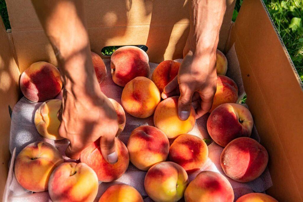 Obst wird im Okanagan Valley oft direkt im Straßenverkauf angeboten, zum Beispiel köstliche Pfirsiche. Foto Valmedia / Deposit