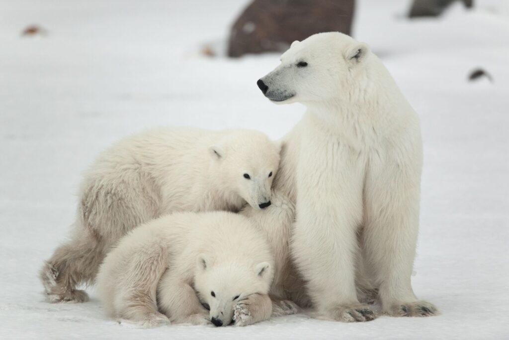 Treusorgende Mutter im Eis. Polarbärin mit ihren Jungen. Foto SURzet