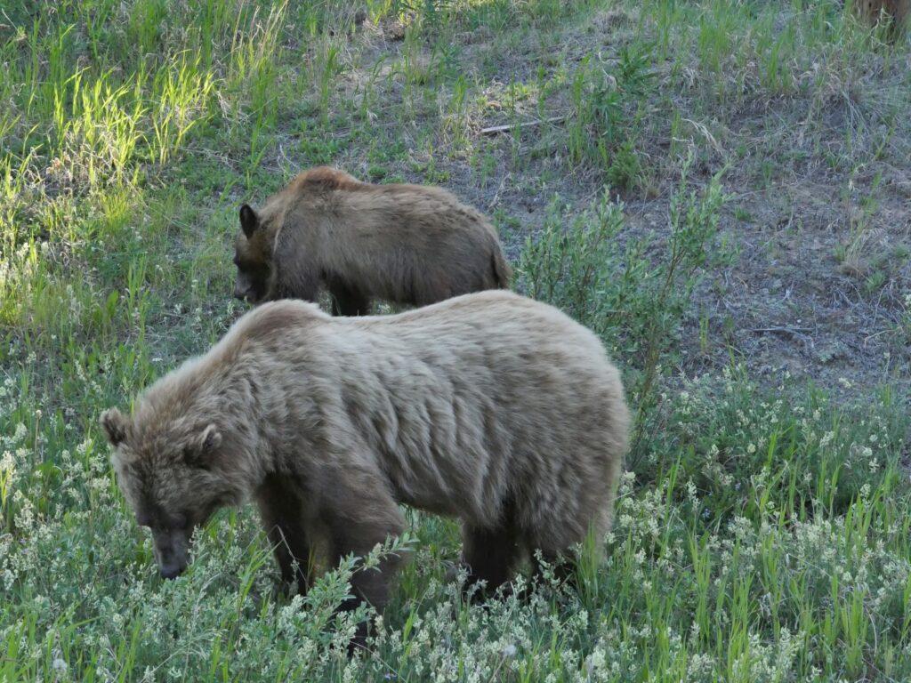 Junge Grizzlys durchstreifen ihr riesiges Revier im fast menschenleeren Yukon Territorium. Foto apr