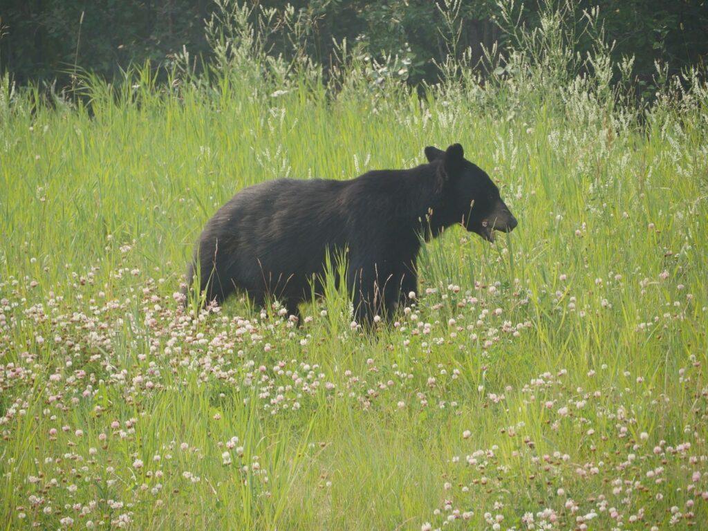 Ein Schwarzbär bereitet sich im Yukon mit viel Fressen auf den kommenden Winter vor. Foto apr