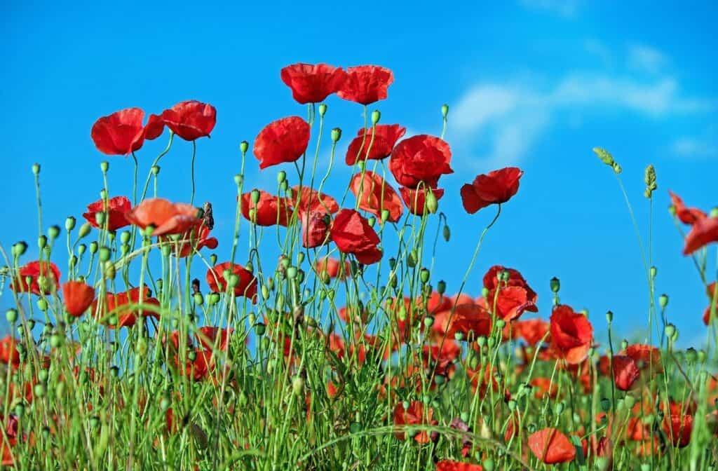 Der Klatschmohn, Symbol der Schlachten des 1. Weltkrieges und des Commonwealth weiten Remembrance Day. Foto Couleur / Pixabay