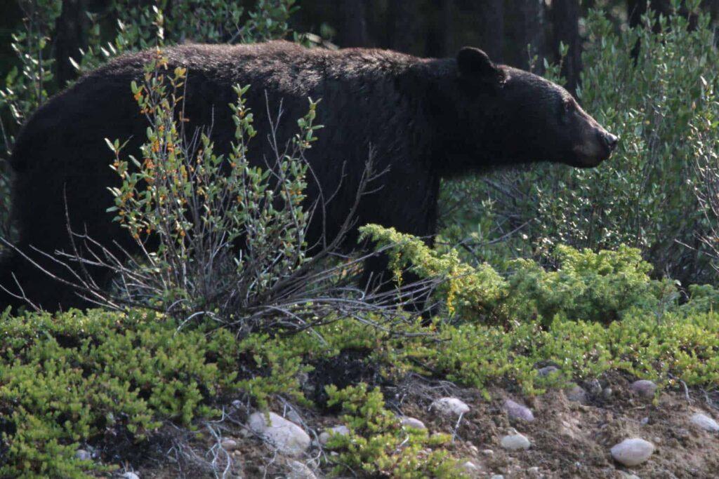 Ein Schwarzbär im Jasper Nationalpark. Foto Miriam Hülser