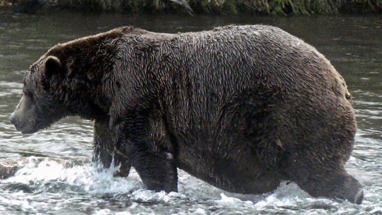 Bär 32, genannt Chunk, hat sich schon so richtig kugelig rund den Winterspeck angefressen. Nun kann der Winter in Alaska kommen. Foto NPS/N Boak