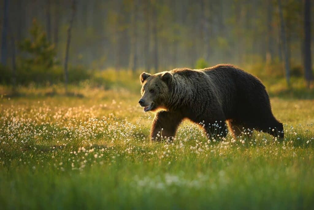 Dieser Grizzly muss noch viel fressen, um gut durch den harten Winter zu kommen. Foto mecan / Deposit