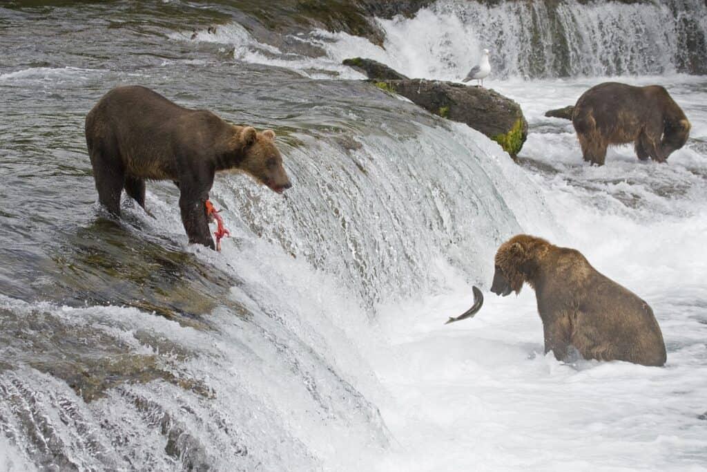 Bären auf der Jagd nach Lachs. Foto wildatart