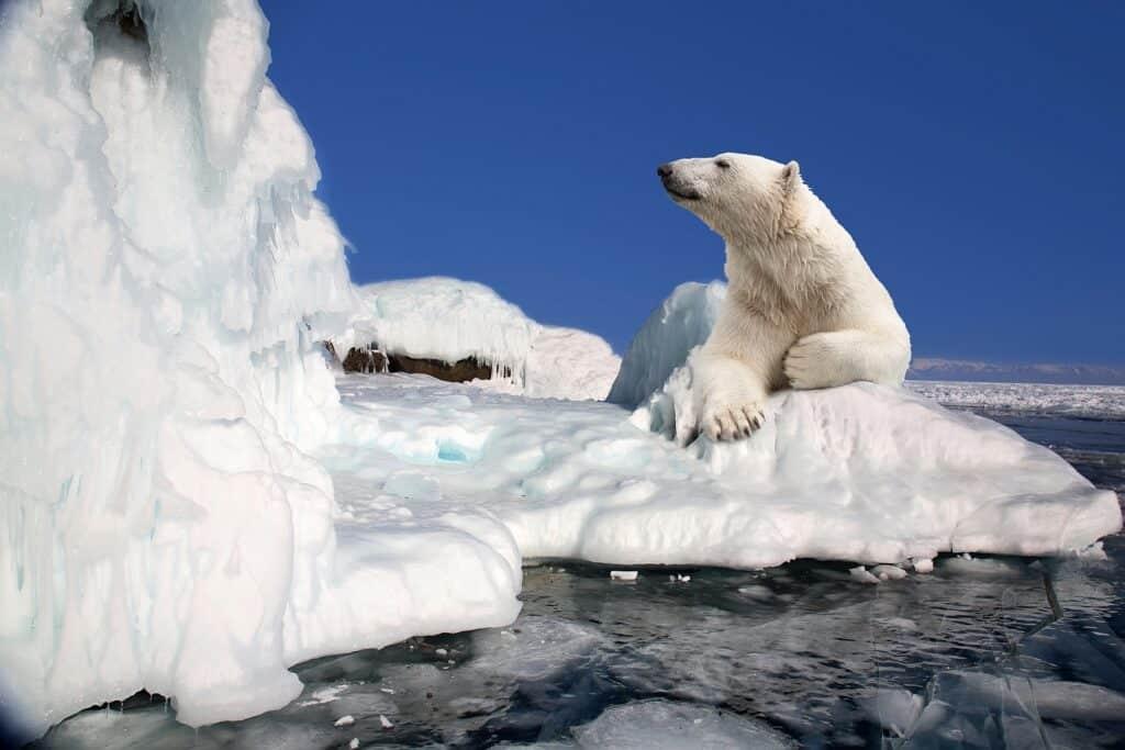 Bären in Kanada: Der Lebensraum des wunderschönen und majestätischen Polarbären ist stark gefährdet. Foto Lenorlux