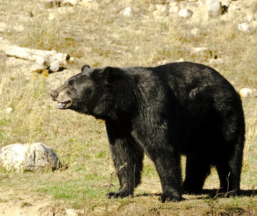 Bären in Kanada: Schwarzbären sind in Kanada häufig anzutreffen. Foto airdale / Deposit