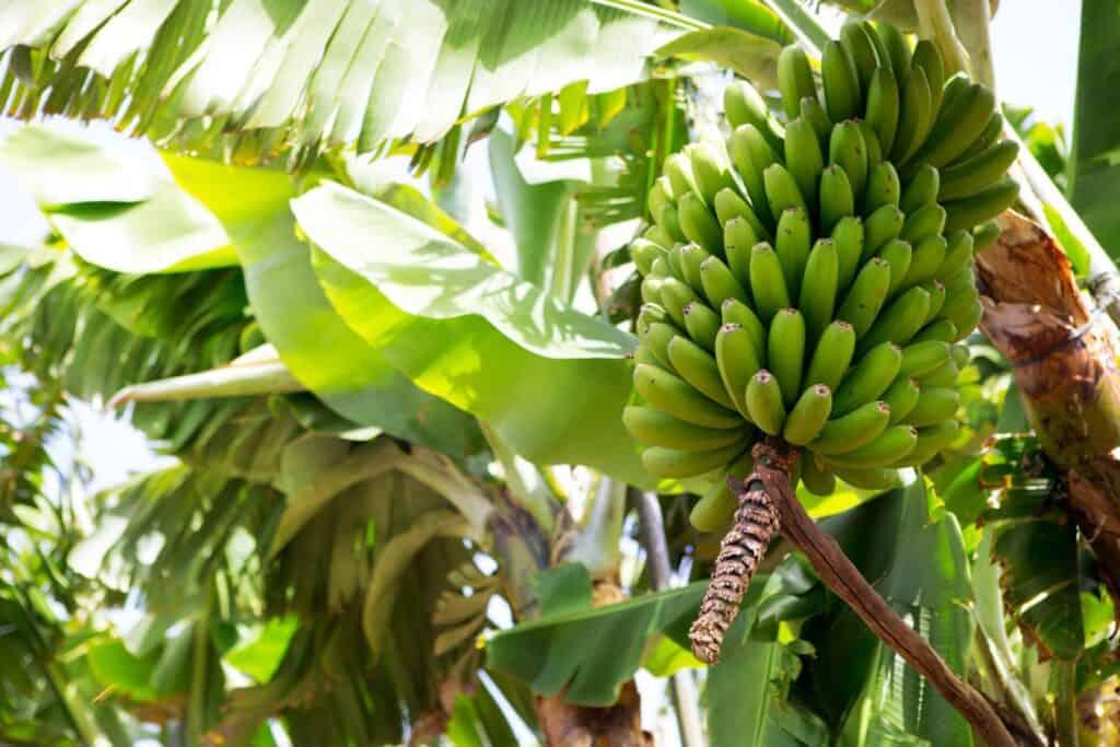 Bananenstaude, bald kann geerntet werden. Foto lunamarina / Deposit