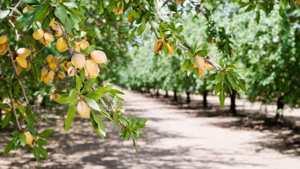 Tragende Mandelbäume auf einer Plantage in Kalifornien. Foto cboswell / Deposit