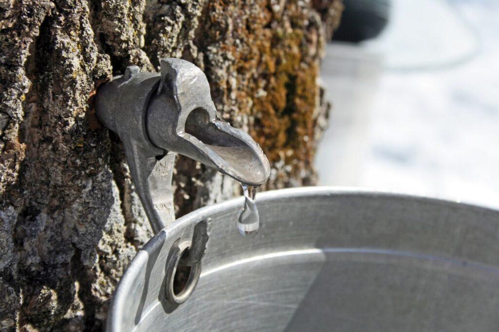 Im zeitigen Frühjahr wird der Saft des Zuckerahorns geerntet, um daraus Kanadas flüssiges Gold, den Ahornsirup zu gewinnen. Foto StudioLightAndShade / Deposit