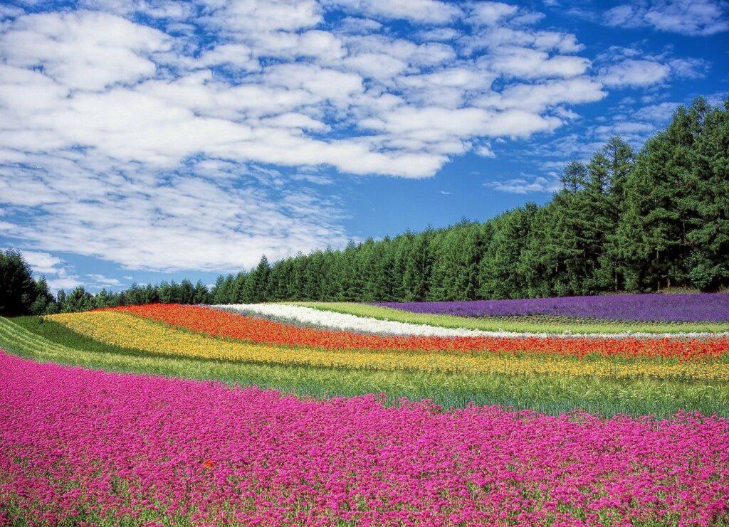 Ein Blumenfeld, am besten gleich viele Hektar oder Acres groß. Foto Kohji Asakawa / Pixabay
