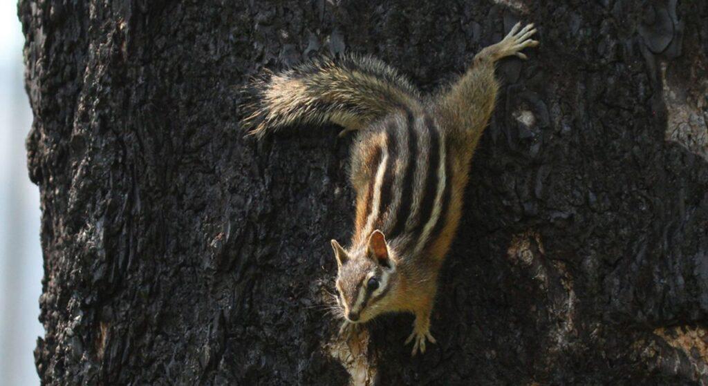 Ein süßer und frecher Fratz im Yoho Nationalpark, der Chipmunk. Foto Parks Canada / ADibb