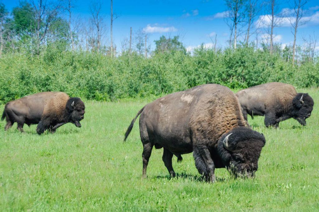 Elchherde im Elk-Island-Nationalpark. Foto naticastillog / Deposit