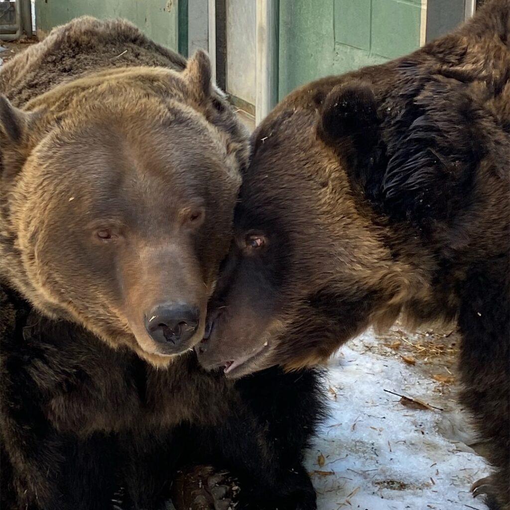 Mistaya (links) und Koda (rechts), die Bären im Saskatoon Forestry Farm Park & Zoo National Historic Site of Canada freuen sich auf Besucher. Foto Saskatoon Forestry Farm Park & Zoo