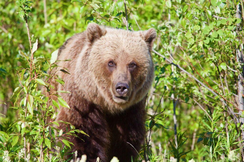 Auf Du und Du mit dem Grizzly. Natur pur im Yukon. Foto Holger Bergold