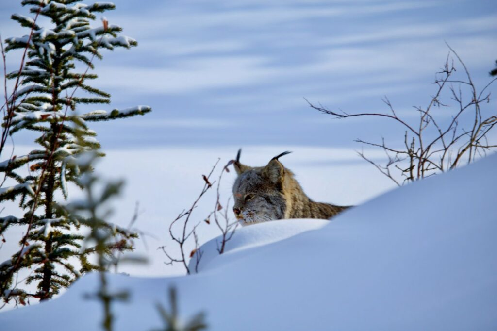 Eine wunderschöne Katze, die sich dem Menschen nur relativ selten zeigt. Foto Holger Bergold