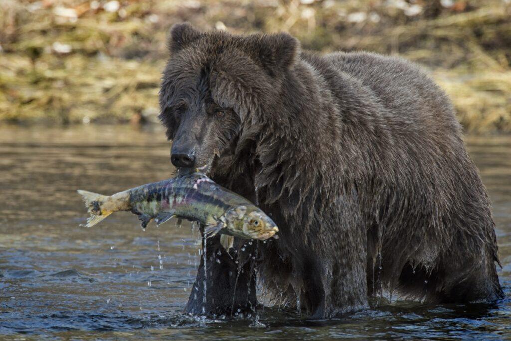 Der Ni'iinlii Njik (Fishing Branch) Territorial Park ist ein Paradies für Bären und Bärenbeobachter. Foto Peter Mather / Travel Yukon